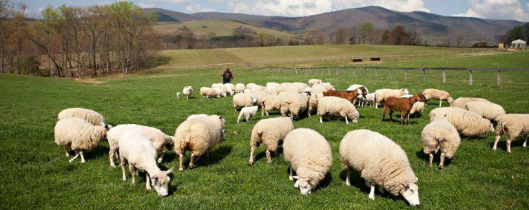 Pelatihan Pembuatan Usaha Ternak Kambing Dan Domba